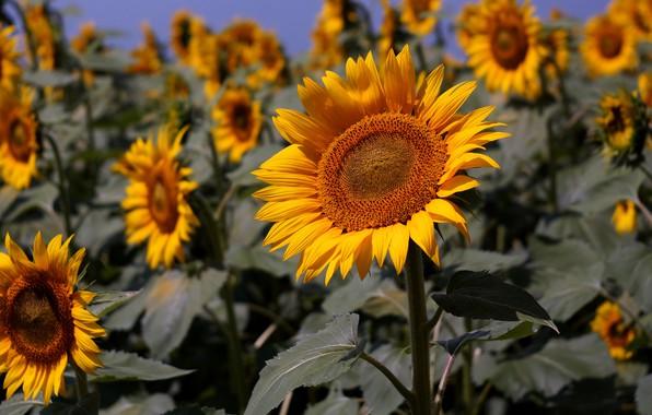 Картинка поле, лето, подсолнухи, цветы, желтые, много, поле подсолнухов