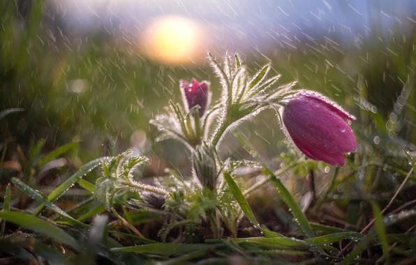 Картинка трава, вода, капли, макро, природа, дождь, весна, первоцвет, сон-трава, анемон