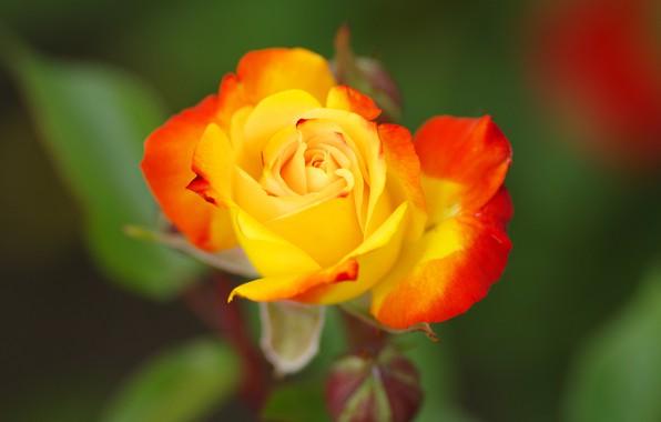 Картинка цветок, зеленый, фон, роза, бутон, желтая, с красным