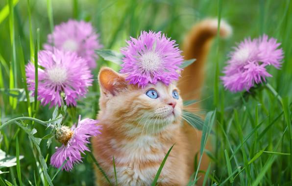 Картинка голубые глаза, в траве, рыжий котёнок