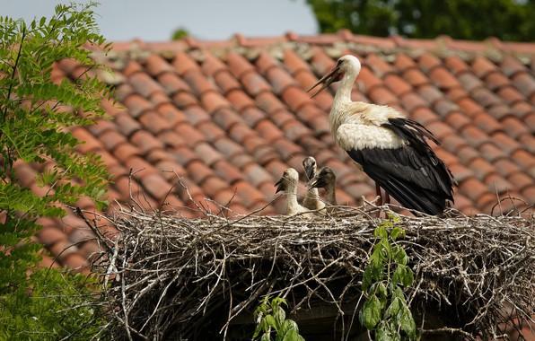 Картинка птицы, гнездо, аисты
