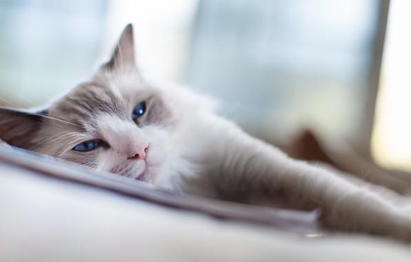 Картинка blue, eyes, Cat