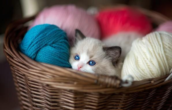 Картинка кошка, взгляд, котенок, корзина, цветные, малыш, мордочка, котёнок, голубые глаза, нитки, корзинка, разноцветные, клубки, выглядывает, …