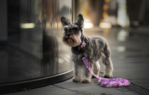 Картинка взгляд, стекло, морда, город, отражение, фон, улица, стрижка, собака, поводок, прогулка, серая, тротуар, боке, терьер