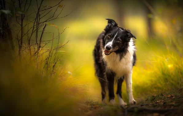 Картинка осень, язык, взгляд, ветки, природа, фон, собака, прогулка, бордер-колли