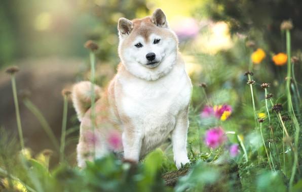 Картинка лето, трава, взгляд, цветы, природа, поза, собака, щенок, боке, пёсик, сиба-ину, сиба