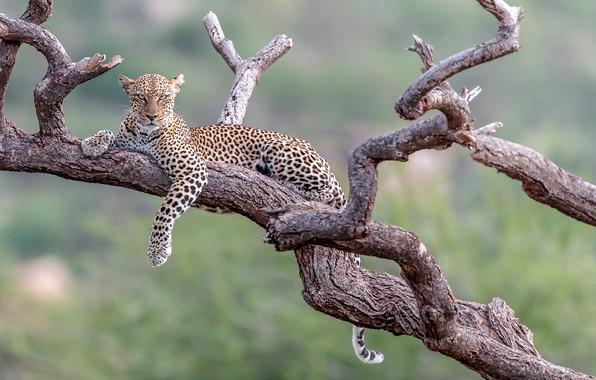 Картинка фон, отдых, леопард, коряга, дикая кошка, боке