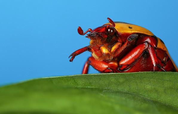 Картинка макро, листок, жук, насекомое, голубой фон, майский