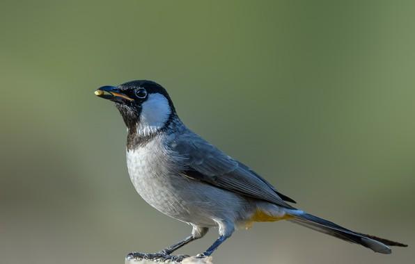 Картинка птица, столбик, белый ушастый бюльбюль
