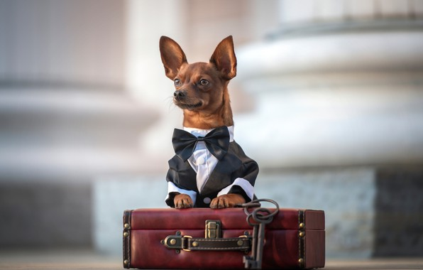 Картинка взгляд, чемодан, уши, ключи, мордашка, пёсик, Чихуахуа, галстук-бабочка, собачонка, Ирина Ковалёва