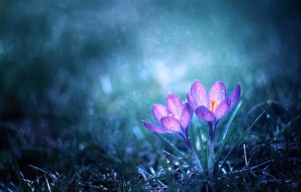 Картинка капли, дождь, крокусы