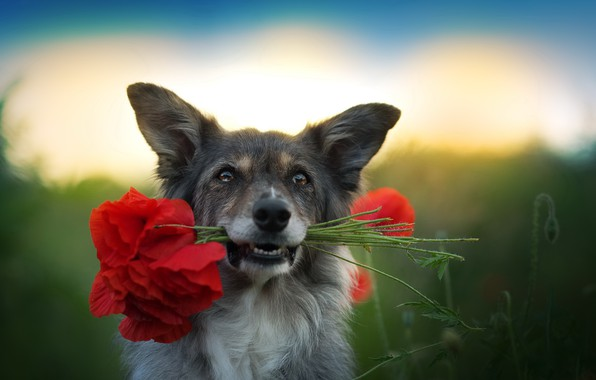 Картинка друг, маки, собака
