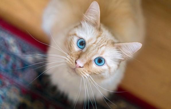 Картинка кошка, кот, взгляд, мордочка, голубые глаза, боке, котейка