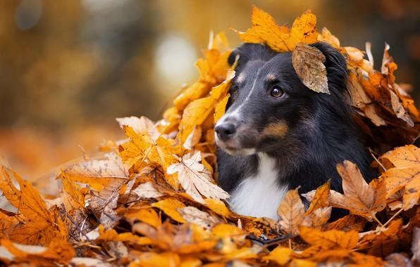 Картинка грусть, осень, глаза, взгляд, морда, листья, парк, фон, листва, черный, листок, портрет, собака, желтые, щенок, ...
