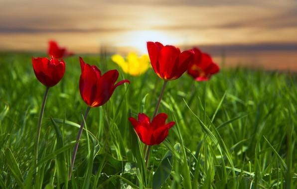 Картинка трава, луг, тюльпаны, красные тюльпаны