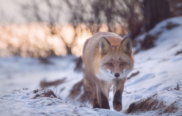 Картинка зима, снег, природа, животное, лиса, лисица