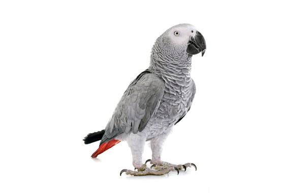 Картинка bird, parrot, white background