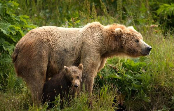 Картинка зелень, лето, трава, взгляд, листья, природа, поза, малыш, медведь, пара, медвежонок, парочка, два, морды, дитя, …