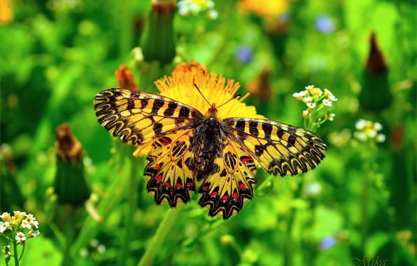 Фото обои Макро, Бабочка, Macro, Butterfly