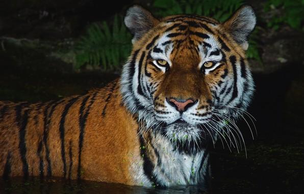 Картинка усы, взгляд, морда, вода, свет, ночь, тигр, темнота, темный фон, портрет, купание, дикая кошка, водоем