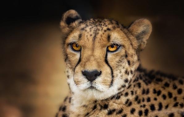 Картинка глаза, взгляд, морда, фон, портрет, гепард, дикая кошка