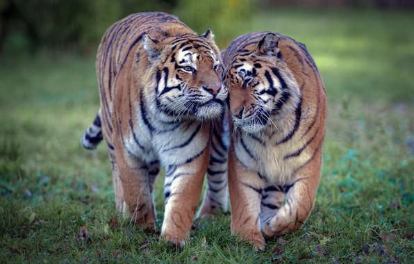 Картинка любовь, тигр, дикие кошки, парочка, тигры, тигрица