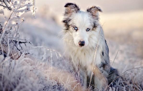 Картинка зима, иней, трава, взгляд, свет, снег, природа, поза, портрет, собака, красавица, голубые глаза, сидит, светлый …