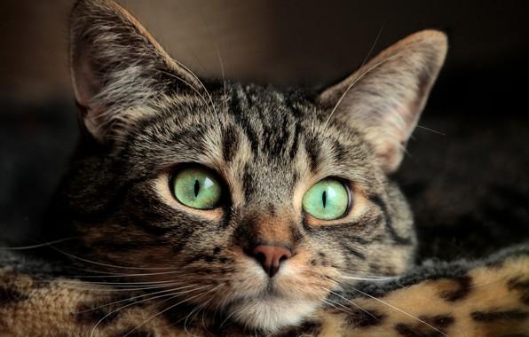 Картинка глаза, кот, усы, eyes, cat, mustache