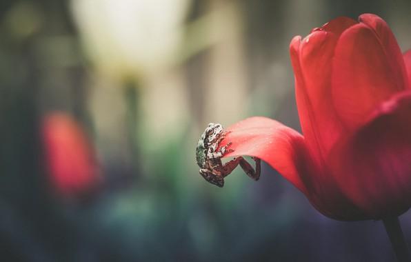 Картинка цветок, макро, красный, фон, тюльпан, лягушка, лепестки, карабкается