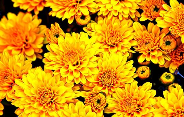 Картинка цветы, рендеринг, обои, краски, желтые, лепестки, бутоны, хризантемы, осенний подарок