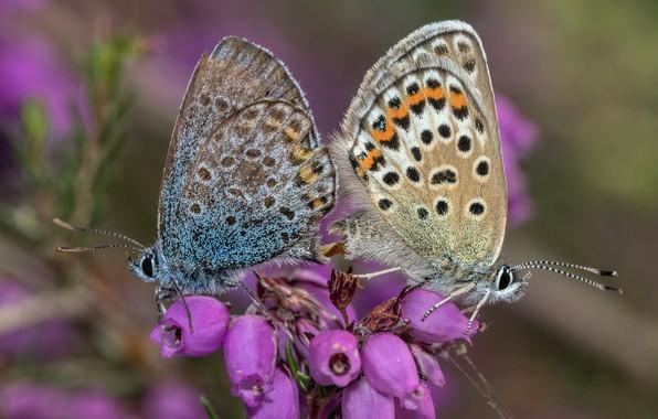 Картинка бабочки, цветы, насекомые, две, пара, розовые, парочка, вереск, спаривание