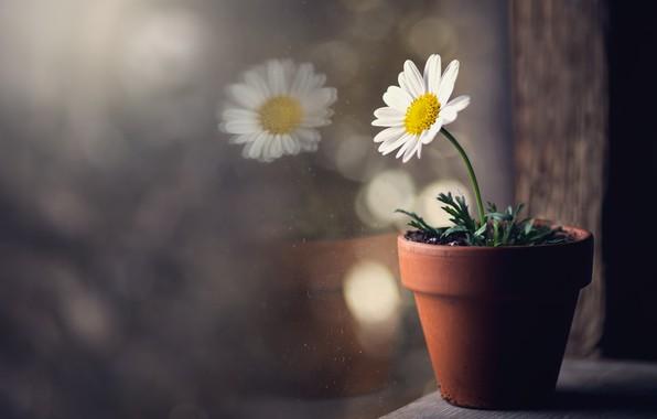 Картинка цветок, окно, горшок