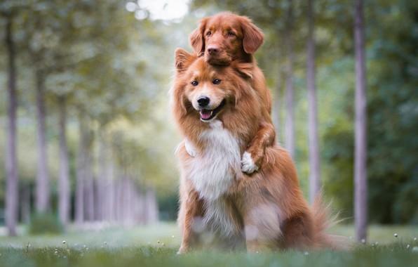 Картинка лес, язык, собаки, лето, трава, взгляд, морда, природа, поза, фон, поляна, игра, собака, лапы, щенки, …