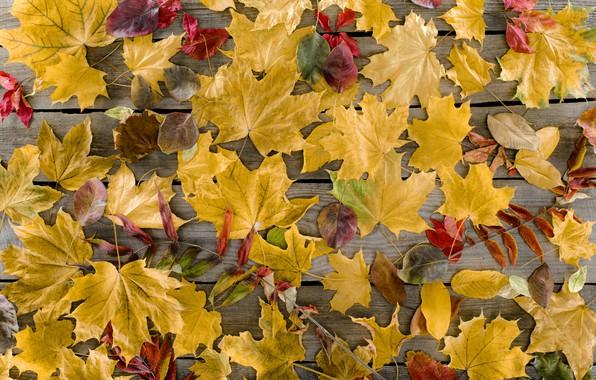 Картинка осень, листья, фон, дерево, доски, colorful, клен, wood, background, autumn, leaves, осенние, maple