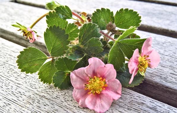 Картинка Цветы, весна, земляника, цветение
