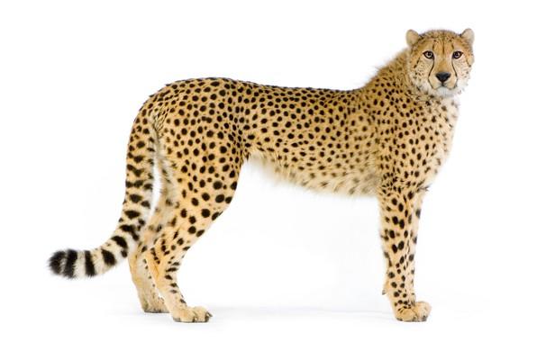 Картинка кошка, хищник, гепард, белый фон