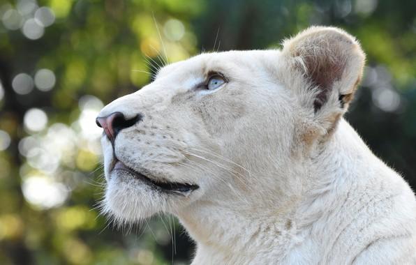Картинка взгляд, морда, портрет, профиль, белая, голубые глаза, львица