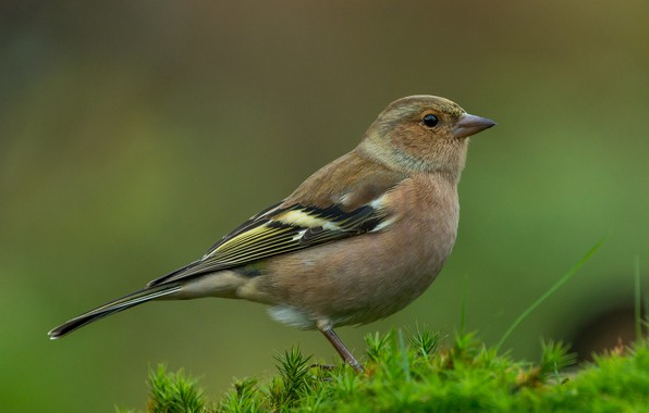 Картинка птица, Bird, вьюрок