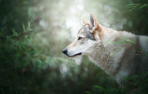 Картинка зелень, лес, лето, взгляд, морда, листья, свет, ветки, природа, фон, листва, волк, портрет, собака, большая, …