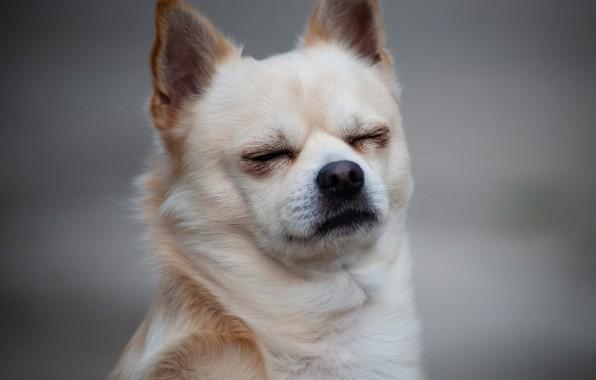 Картинка фон, портрет, пёсик, Чихуахуа, собачонка, мордашеп