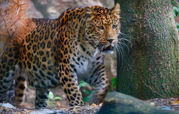 Картинка лес, морда, природа, фон, дерево, хищник, леопард, ствол, дикая кошка, крадется, дикая природа