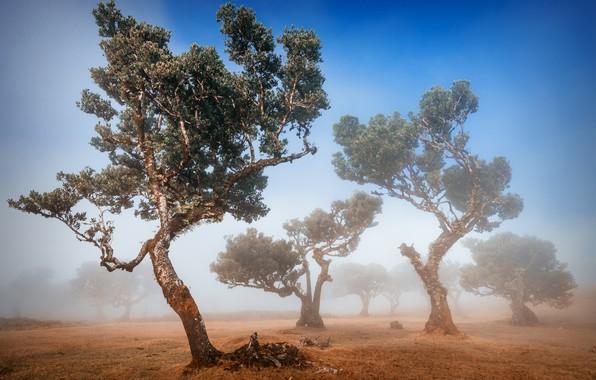 Картинка деревья, туман, trees, fog, Adrian Popan