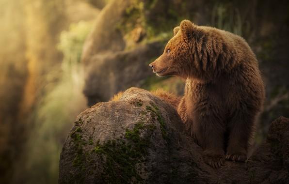 Картинка камень, хищник, медведь