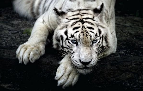 Картинка белый, взгляд, тигр, tiger, сибирский
