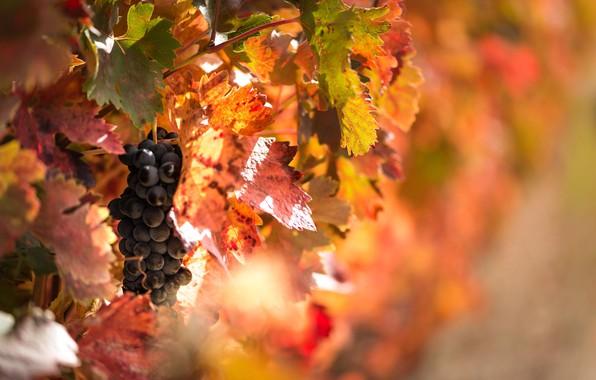 Картинка осень, свет, листва, ягода, виноград, фрукты, боке, лоза