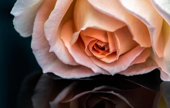 Картинка макро, отражение, роза, бутон