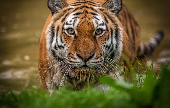 Картинка трава, взгляд, морда, вода, тигр, дикая кошка