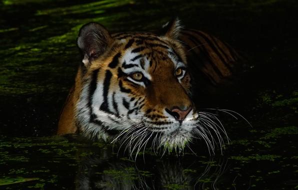 Картинка усы, взгляд, морда, вода, ночь, тигр, темнота, темный фон, портрет, купание, дикая кошка, водоем, ряска