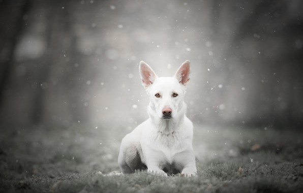 Картинка зима, иней, лес, трава, взгляд, морда, снег, природа, поза, туман, парк, серый, фон, собака, лежит, …