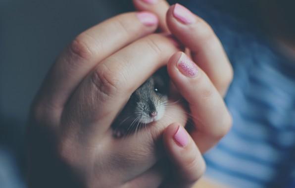 Картинка размытие, хомяк, руки, мышь, мышка, пальцы, серая, мордашка, хозяйка, ногти, крыса, выглядывает, питомец, хомячок